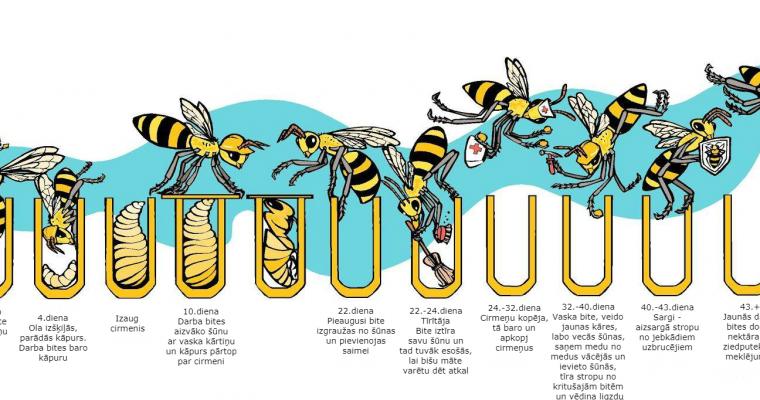 Darba bites dzīves cikls