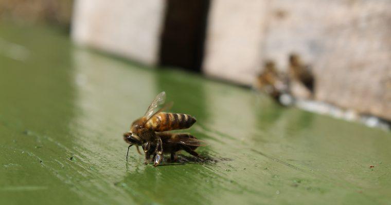 Bites – izvadītājas