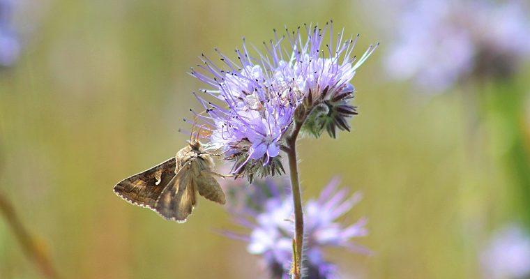 Bites facēliju laukā