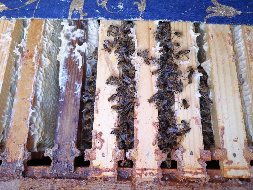 bites janvārī, bites ziemā, bees in winter, bites kamolā